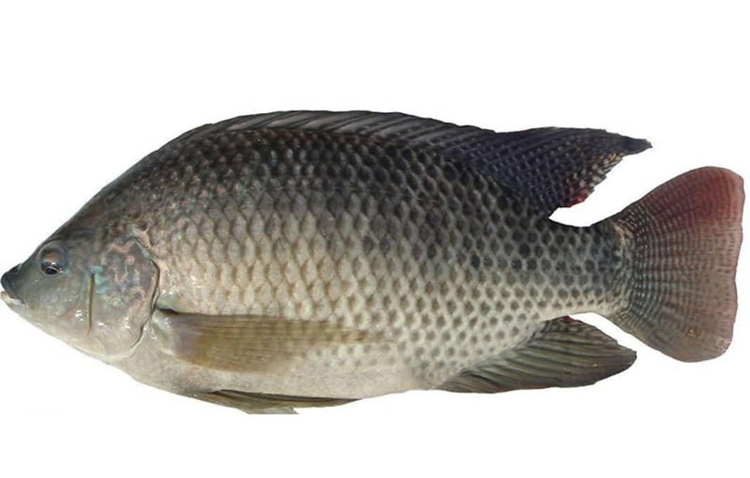 Cá rô
